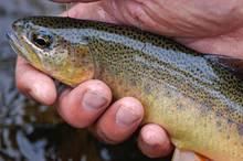 A Gila trout
