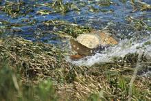 carp Minidoka National Wildlife Refuge