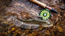brown trout - grey fox fly