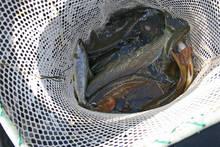 shocked fish in net