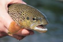 Orkla River Brown Trout