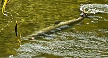 A Klamath River salmon.