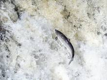 leaping Atlantic Salmon