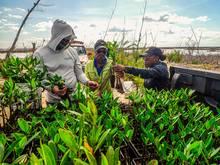mangrove restoration bahamas