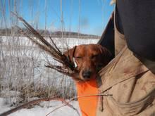 daschund hunting