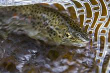 Brown Trout Raritan River NJ