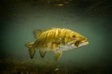 smallmouth bass underwater