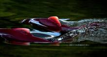 Sockeye salmon fin through a river in the Bristol Bay region of Alaska