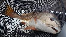 Carolina Redfish