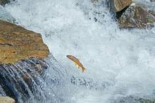 Yellowstone cutthroat trout jumping