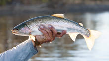 patagonia rainbow trout