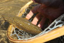 Brown Trout - Arkansas River