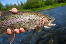 Alaskan Rainbow Trout (photo: Chad Shmukler).