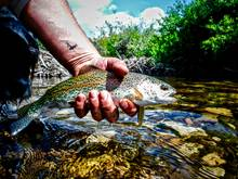 desert rainbow trout