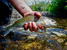 idaho high mountain trout