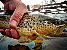 January Idaho Brown Trout