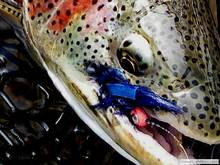 Bristol Bay Rainbow TRout
