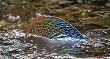 alaska grayling dorsal fin