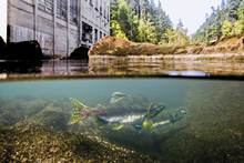 Pink Salmon Elwha Dam