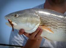 SC Redfish