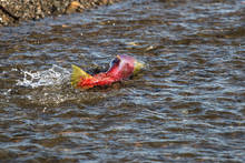 Sockeye Swimming in Alaska