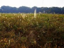 spider webs in field