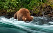 grizzly salmon fishing alaska
