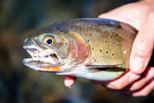 Native Yellowstone cutthroat trout