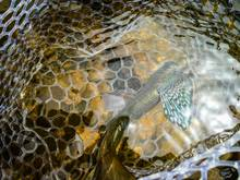 grayling - fly fishing
