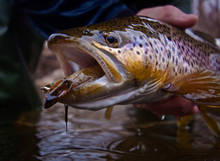 February Brown Trout