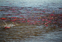Bristol Bay Sockeye Staging