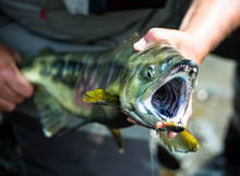 Tongass Chum Salmon