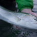 Washington Coast Steelhead