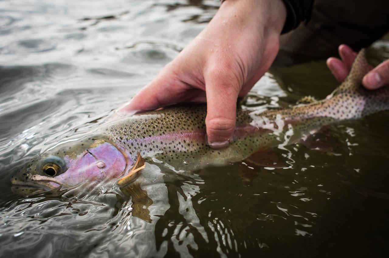 North Platte River Rainbow Trout