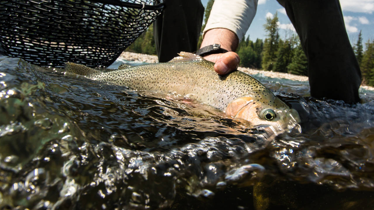 Elk River Cutthroat Trout