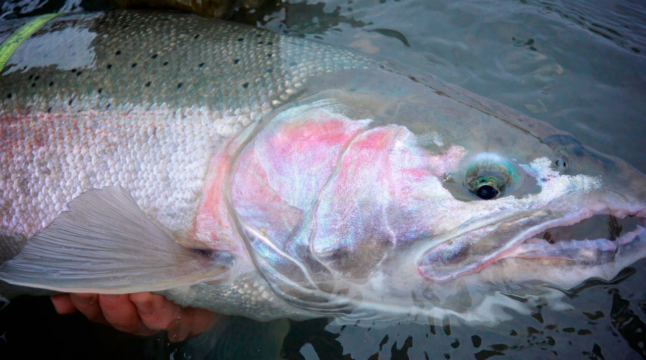 Olympic Peninsula Wild Steelhead