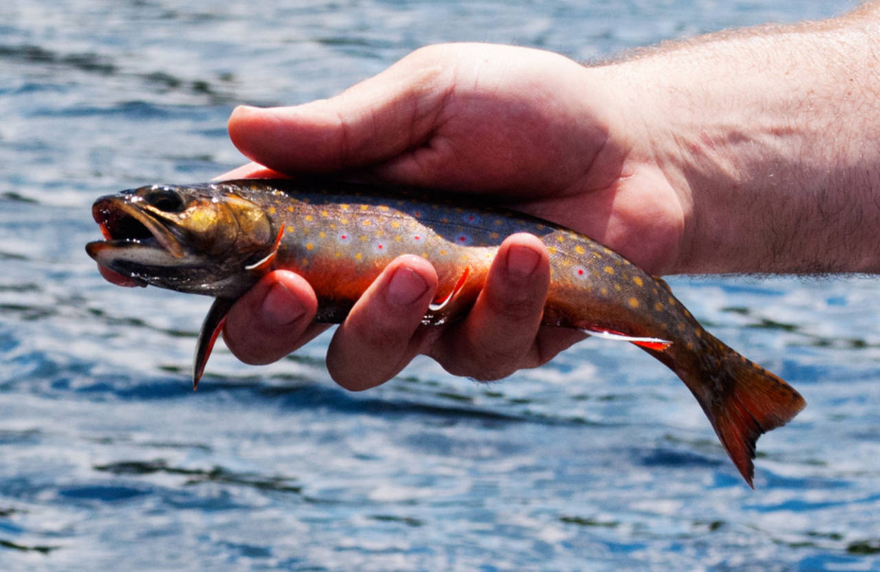 Maine native brook trout.