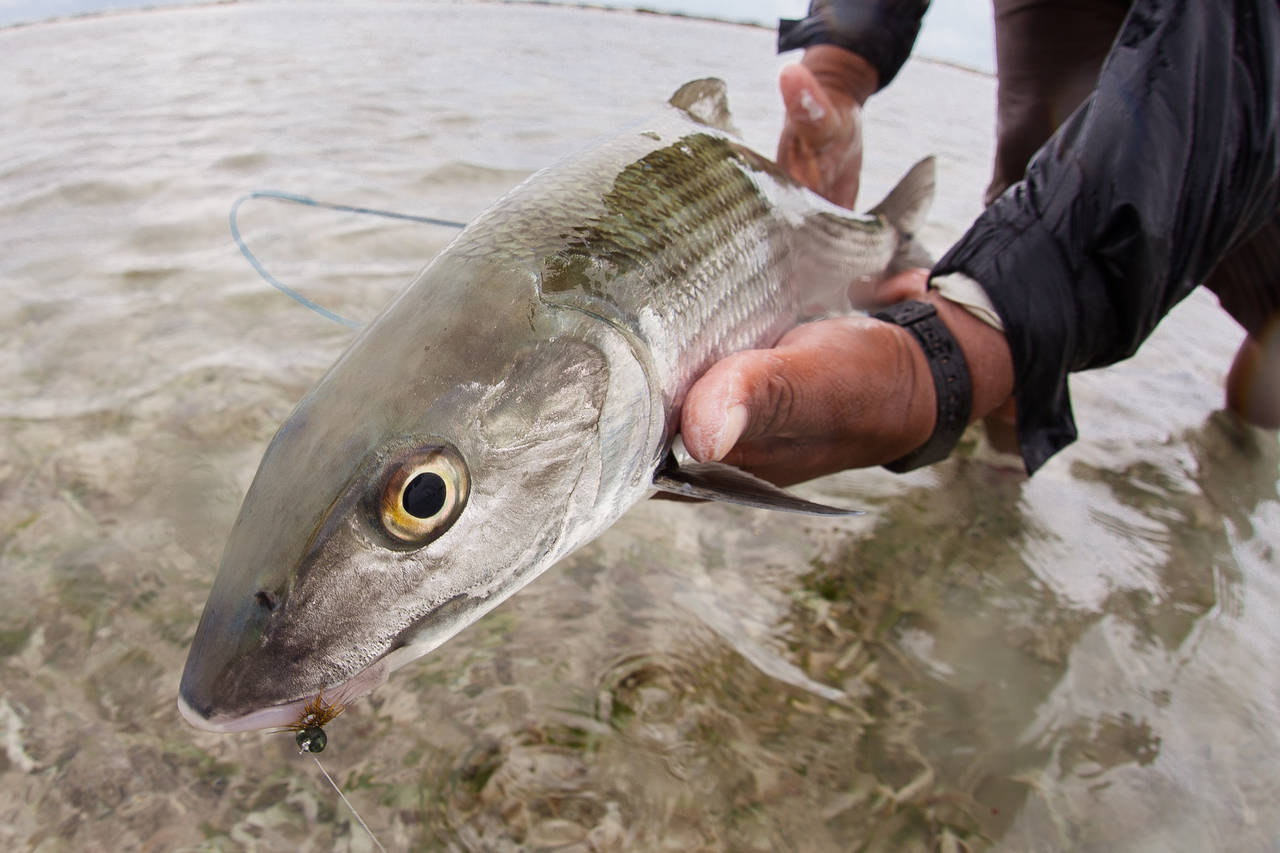 Turneffe Atoll Bonefish - Turneffe Flats - Belize