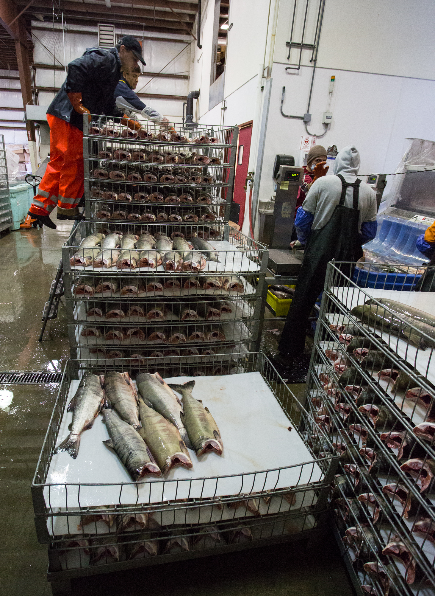 "(4/4) Dotting the shorelines of Alaska's southeast are numerous seafood processing facilities, like this one, where catches are delivered daily and quickly processed, packaged and shipped for sale. Here, processors work through a haul of chum salmon, which will be sold commercially as ""keta"" or ""silverbrite"" salmon (photo: Chad Shmukler)."