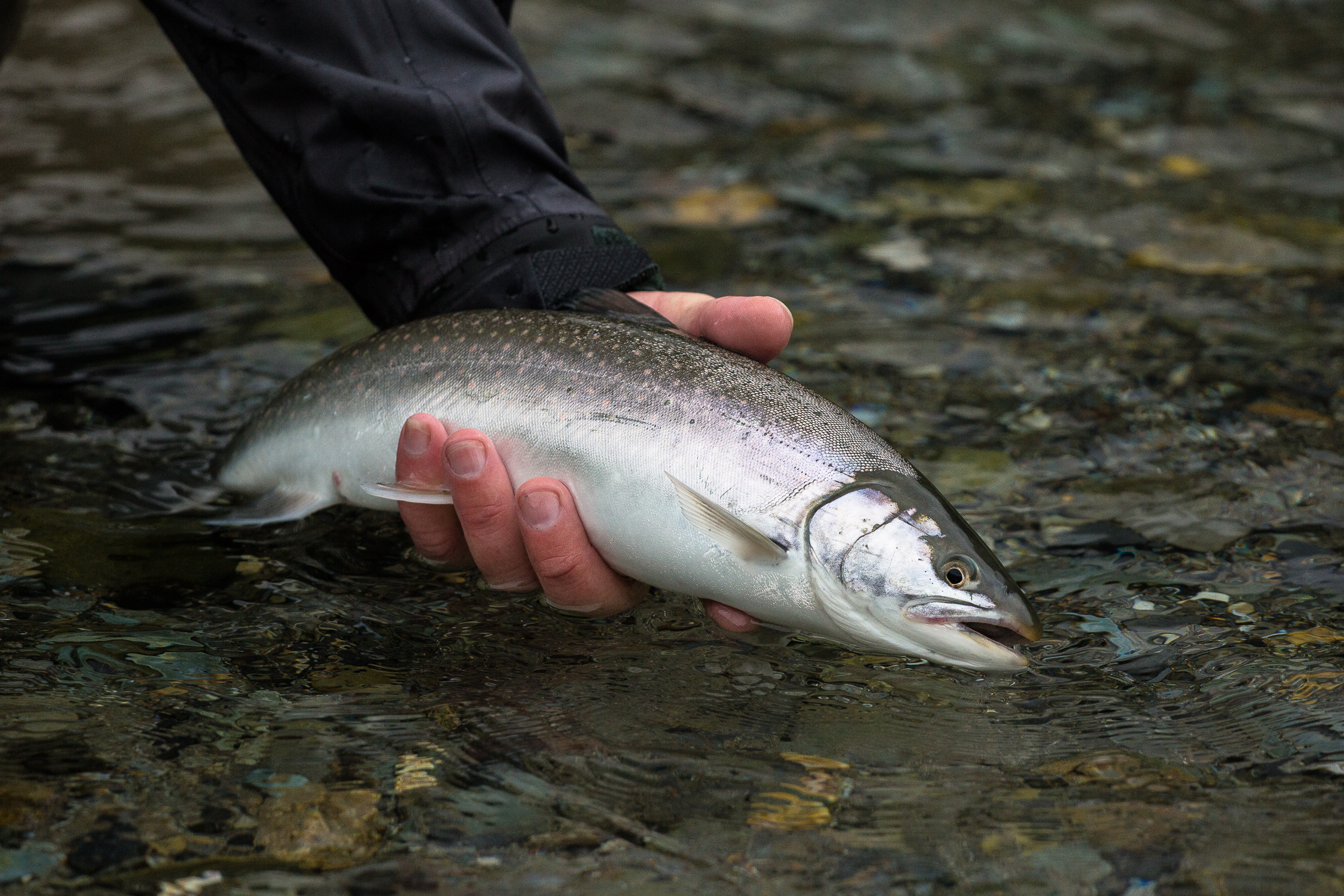(4/5) Once the float plane departs, a long walk through thick meadows of rain-soaked marsh grasses ensues, eventually yielding the the chum salmon choked creek. As expected, hordes of dolly varden have followed the spawning chum in to feast on their eggs, and we've followed the dollies (photo: Chad Shmukler).